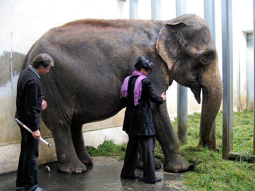 Two people examining an elephant.